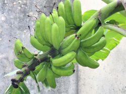 バナナが成りました